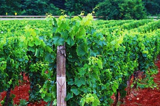 Hrvatski vinograd