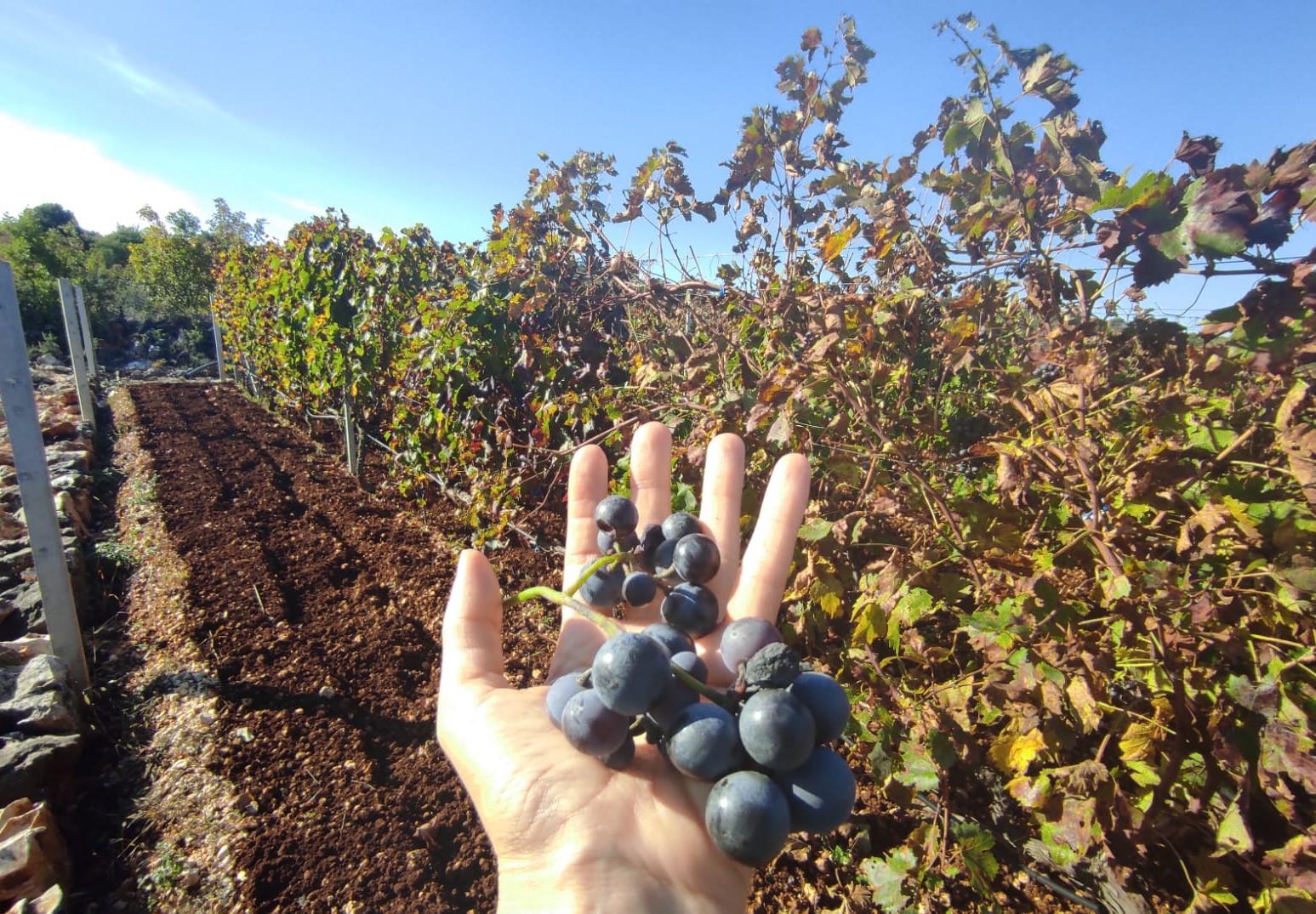 Dalmatisk vingård